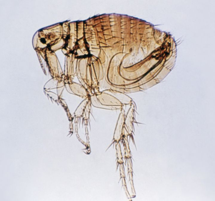 Plague can be transmitted to humans from direct contact with infected animals or if a person is bitten by an infected flea.