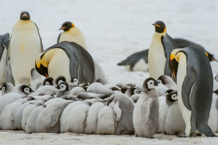 Emperor penguin chicks are seen huddling to stay warm on the sea ice at Snow Hill Island in the Weddell Sea in Antarctica.&nb